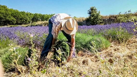 Organic lavender in Provence