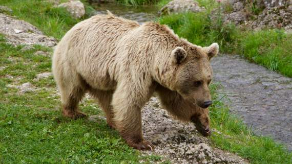 The brown bear of the Pyrenees